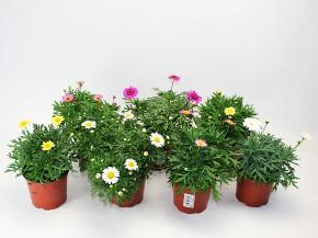 Argyranthemum frutescens 'Crazy Daisy' T 10,5 MIX • VE 10