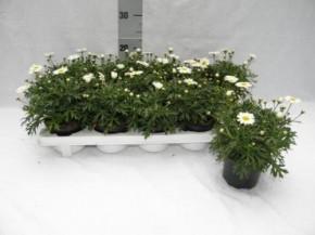 Argyranthemum frutescens T 10,5 WEISS • VE 10