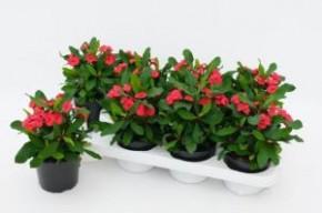 Euphorbia milii 'Vulcanus' (rot) T 12 • VE 8
