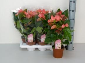 Anthurium-Andreanum-Hybr.T 14 (pink) 'Sweet Dream' • VE 7
