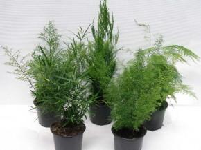 Asparagus T 12 MIX • VE 8