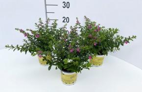 Cuphea hyssopifolia T 11 TWIN