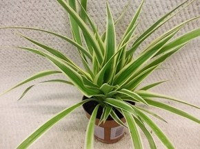 Chlorophytum comosum 'Irish' T 12 • VE 12