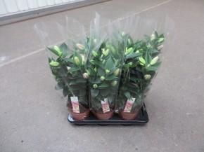 Lilium-Oriental-Hybriden 'Souvenir' T 17 (3 ppp) • VE 6