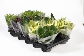Peperomia T 11 Mix • VE 14