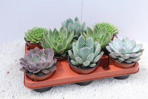 Echeveria T 11 MIX • VE 8