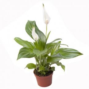 Spathiphyllum 'Cupido' T 6 Mini • VE 12