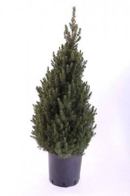 Picea glauca 'Conica' T 28    80 cm •  VE 3