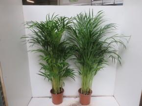 Chrysalidocarpus lutescens (Areca) T 19 (100 cm) • VE 3