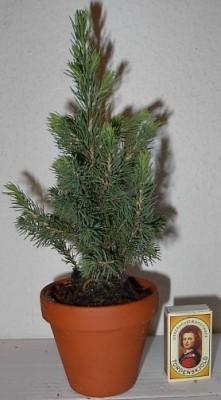 Picea glauca 'Conica'  T 9  •  20 - 25 cm • VE 18