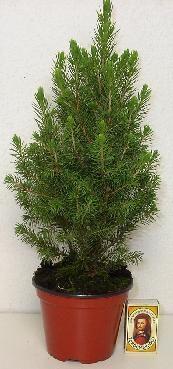 Picea glauca 'Conica' T 11 • 25 - 35 cm • VE 10