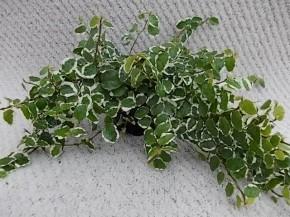 Ficus pumila 'Bellus' T 9 • VE 12