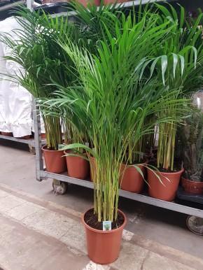 Chrysalidocarpus lutescens (Areca) T 21 (90 cm) • VE 3