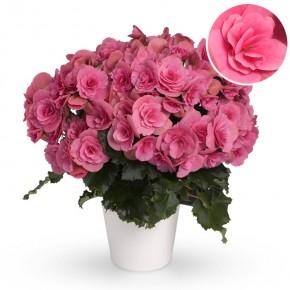 Begonia-Elatior-Hybriden T 13 'Berseba' (pink) • VE 6