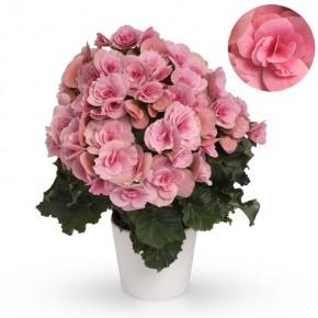 Begonia-Elatior-Hybriden T 13 'Berseba Lightpink' (rosa) • VE 6