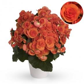 Begonia-Elatior-Hybriden T 13 'Reina' (dkl.orange) • VE 6