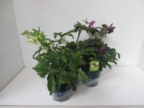Helleborus orientalis T 17 MIX-Lage • VE 20