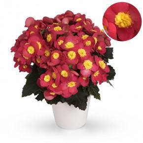 Begonia-Elatior-Hybriden T 13 'ValentinoPink' • VE 6