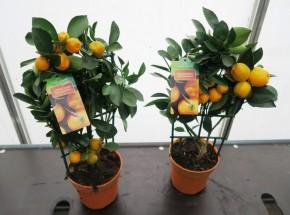 Citrus Spalier T 14 MIX • VE 6