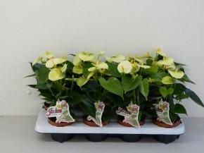 Anthurium-Andreanum-Hybrid T 10,5 (creme-gelb) 'Vanilla' • VE 10