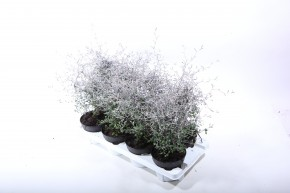 Corokia cotoneaster T 13 • VE 8