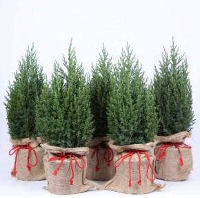Juniperus chinensis 'Stricta' T 15 X-mas ()Jutesack) • VE 6
