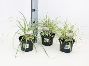 Carex hachijoensis 'Evergold' T 13 • VE 8