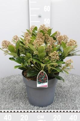 Skimmia japonica 'Rubella' T 26 (ROTE Dolden) • VE 3