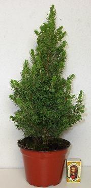 Picea glauca 'Conica' T 13  •  30 - 40 cm • VE 8