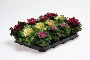 Brassica oleracea T 6 MINI Mix • VE 12