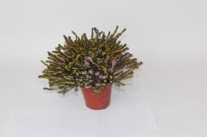 Erica darleyensis T 12 ROSA  • VE 6