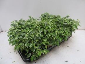 Ficus benjamina 'Kingky' T 12 • VE 8