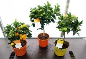 Citrus Stamm T 14 MIX • VE 6
