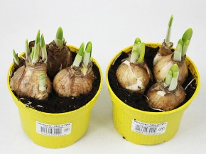 Narcissus 'Tete a Tete' T 10,5 (3-4 ppp) • VE 11