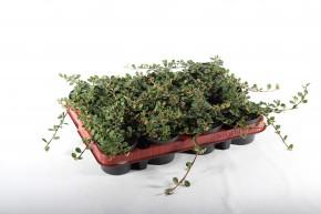 Cotoneaster microphyllus 'Streibs Findling' T 9 • VE 12