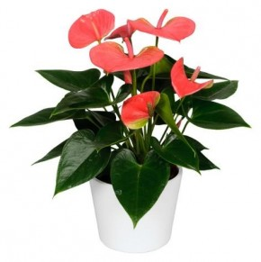 Anthurium-Andreanum-Hybr.T 12 (rosa) 'Sierra Pink' • VE 6