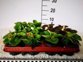 Begonia semperflorens T 9  HQ • VE 15