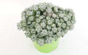 Sedum spathulifolium 'Cape Blanco' T 13 • VE 8