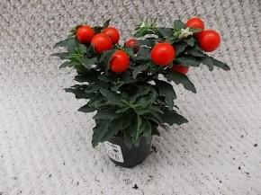 Solanum pseudocapsicum 'Thurino' T 6 MINI • VE 12