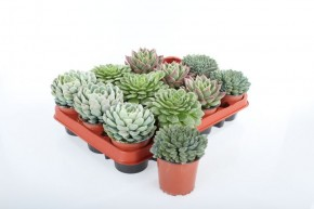 Echeveria T 9 MIX • VE 12