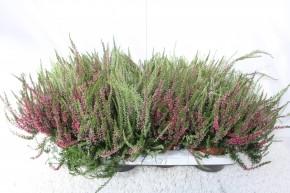 Calluna vulgaris T 13 GardenGirls® TWIN • VE 8