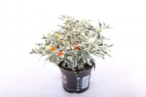 Solanum pseudocapsicum 'Ivema' T 12,5 BUNTLAUBIG • VE 8