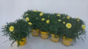 Argyranthemum frutescens T 10,5 GELB • VE 10