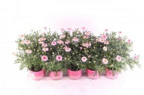 Argyranthemum frutescens T 10,5 ROSA • VE 10
