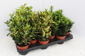 Euonymus  T 11 MIX-Sortiment • VE 12