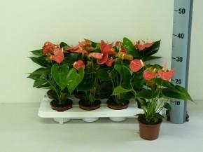 Anthurium-Andreanum-Hybr.T 10,5 (rosa) 'Sierra Pink' • VE 8