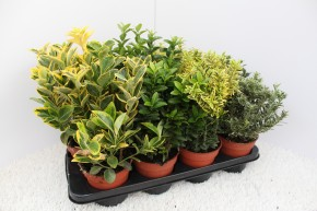 Euonymus  T 13 MIX-Sortiment • VE 8