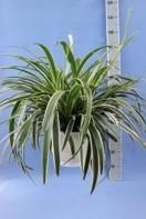 Chlorophytum comosum T 26 Ampel • VE 3