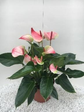 Anthurium-Andreanum-Hybr. T 17 (weiß-rot) 'Mystique' • VE 6