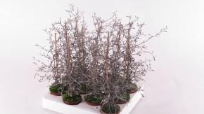 Corokia cotoneaster T 6 MINI • VE 12